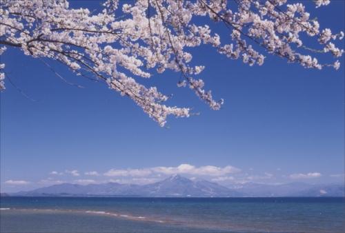 猪苗代湖畔の桜